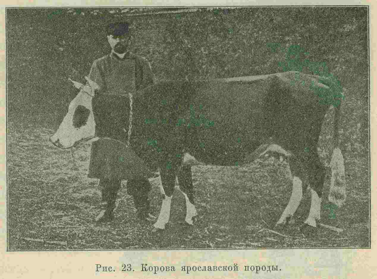 Корова Ярославской породы