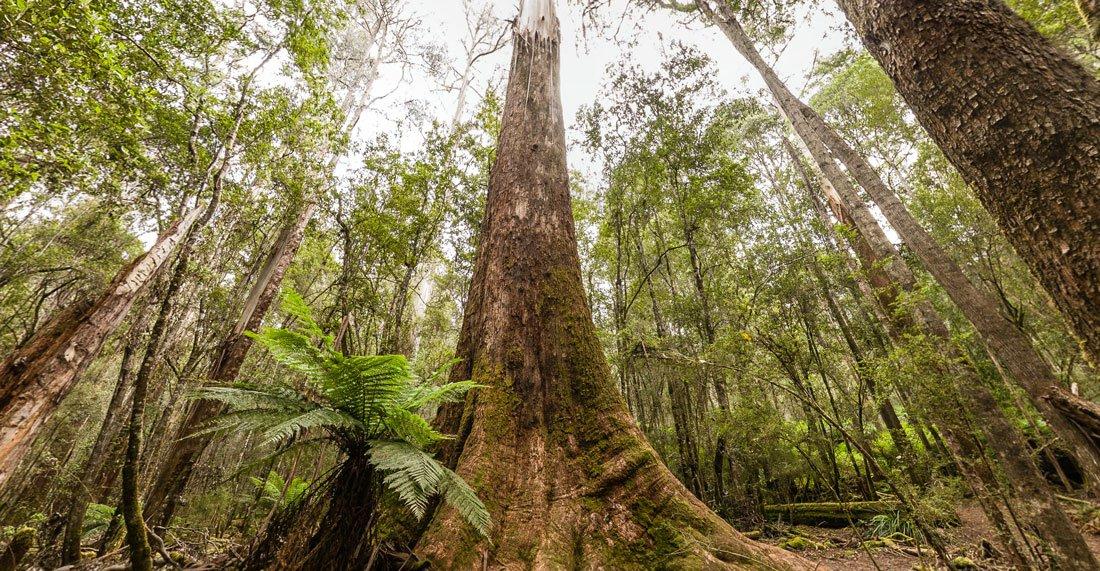 Гигантские эвкалипты в Австралии